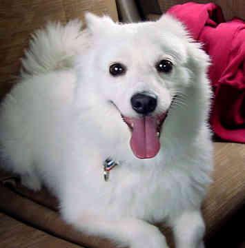 american-eskimo-dog-0069