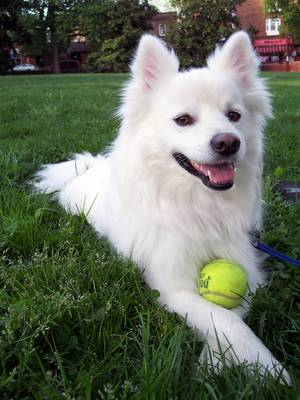 American Eskimo Dog | electric pet fence