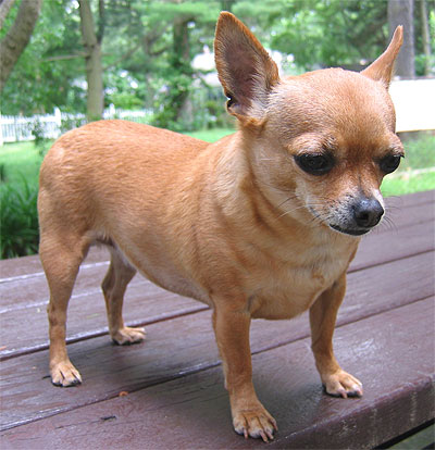 http://ourentropy.files.wordpress.com/2008/11/chihuahua_dog.jpg