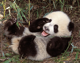 pandacub-1