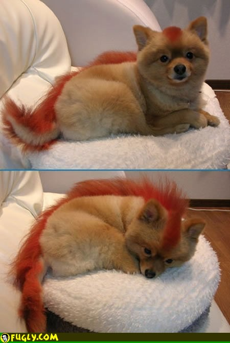 Pumpkin Shaved japanese spitz FUCKING EMM