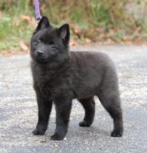 schipperke-puppy-small