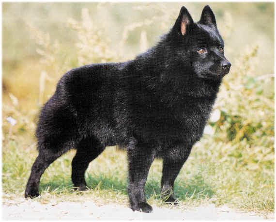 Dog Schipperke Puppies