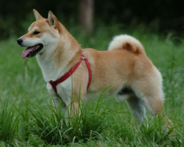 shiba inu puppy. behaved for puppies only