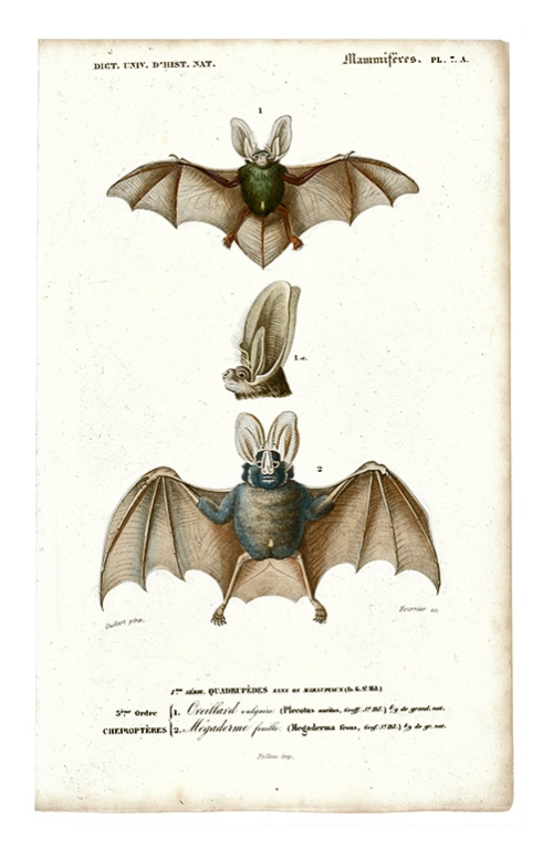 french-bats-5