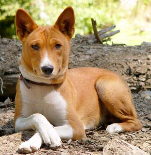 Basenji Dogs Picture
