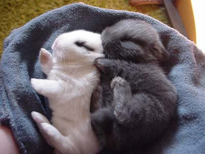 Baby Bunny Rabbits Black and White