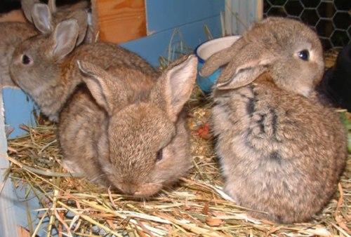 Lamby baby bunnies