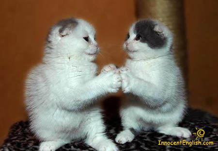 cute-white-kittens-playing-img116